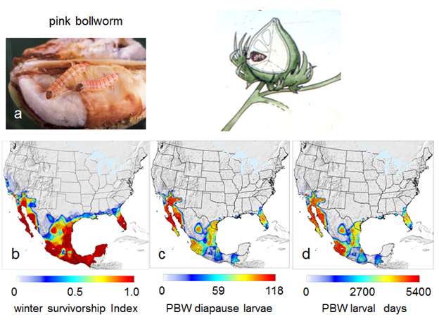 Pink Bollworm Distribution